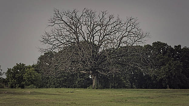 Mighty Oak Past its Time by Philip A Swiderski Jr