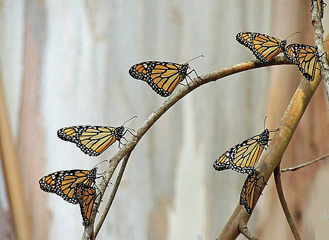 Migrating Monarchs by Krin Van Tatenhove