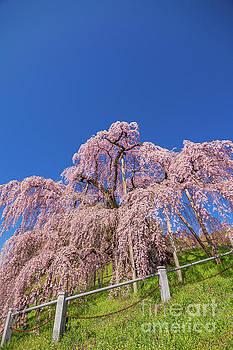 Miharu Takizakura Weeping Cherry32 by Tatsuya Atarashi