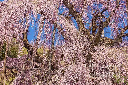 Miharu Takizakura Weeping Cherry42 by Tatsuya Atarashi