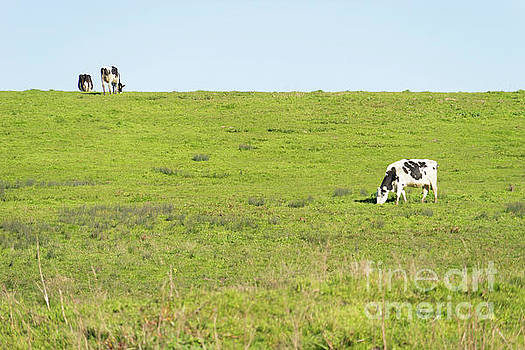 Wingsdomain Art and Photography - Milk Cow At Point Reyes National Seashore California DSC4882