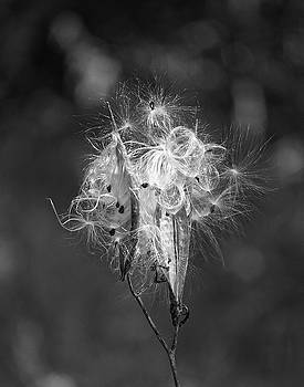 Milkweed in Black and White by Norma Brock
