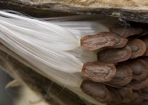 Milkweed seeds by Carla Neufeld