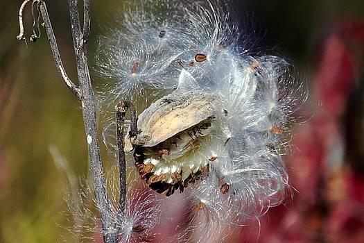 Milkweed Silk by Sarah Lilja
