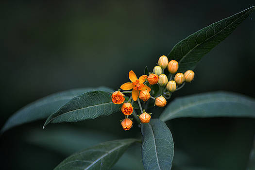 Milkweed by Steven Linebaugh