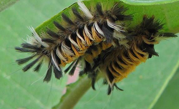 Milkweed Tussock Moth Caterpillar 2 by Victoria Sheldon
