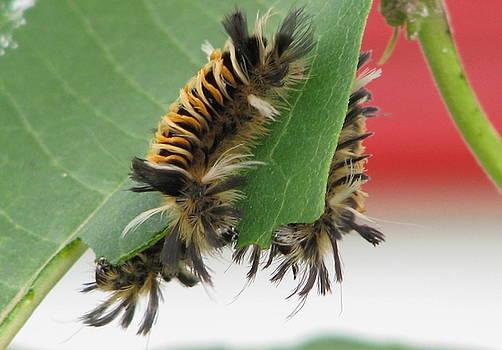 Milkweed Tussock Moth Caterpillar by Victoria Sheldon