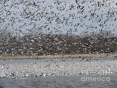 Million of Snow Goose  by Yumi Johnson