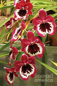 Miltonia Hajamie Ono Black Falls Orchids by Judy Whitton