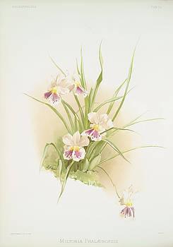 Ricky Barnard - Miltonia Phalaenopsis