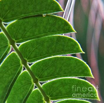 Mimosa Leaves  by Dee Winslow