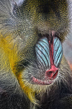 Mindful Mandrill by Spade Photo
