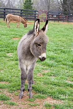 Jill Lang - Mini Donkey