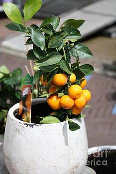 Mini Orange Tree by Danielle Groenen