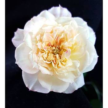 Mini Rose By Tammy Finnegan #minirose by Tammy Finnegan
