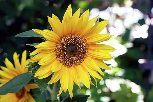 Mini Sunflower by Jeff Severson