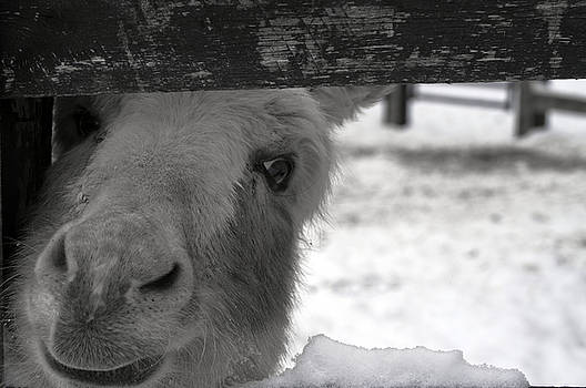 Miniature Donkey Looking Through Fence Opening 2 by Samantha Boehnke