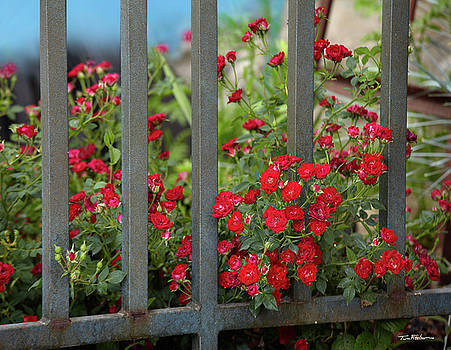 Miniature Red Roses by Tim Fitzharris