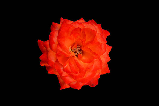 Miniature Rose 3D by Carrie Cooper