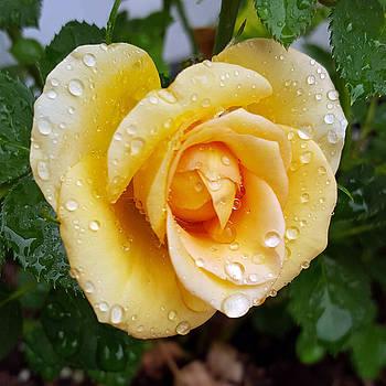 Miniature Rose in the Rain by Amy Jo Garner