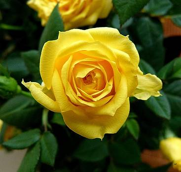 Miniature Yellow Rose by Will Borden