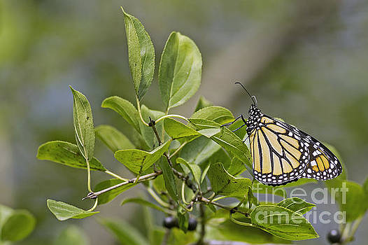 Minnesota Monarch by Natural Focal Point Photography