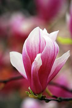 Miss Magnolia by Lori Tambakis