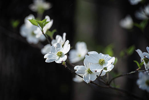 Missouri Dogwood by Bud Simpson