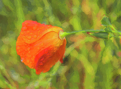 Jan Hagan - Misted California Poppy