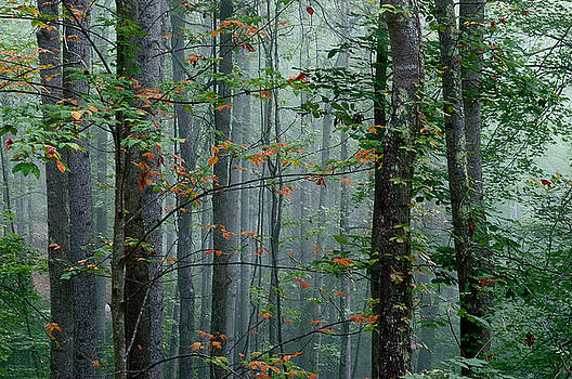 Misty forest. by Itai Minovitz