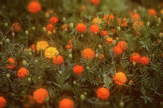 Misty Marigolds by John Brink