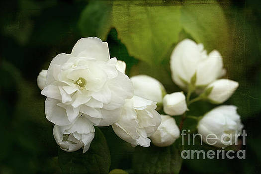 Mock Orange Blossom by Ann Garrett