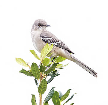 Mockingbird by James Figielski by Paulinskill River Photography