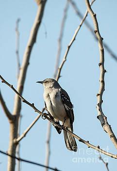 Mockingbird Closeup in Trees by Brandon Alms