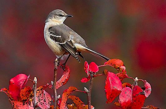 Mockingbird on Red by William Jobes