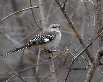 Mockingbird by Timothy McIntyre