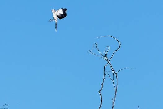 Mockingbird Up by John Pavolich