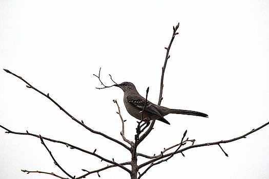 Allen Nice-Webb - Mockingbird With Twig