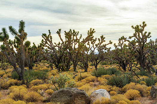 Mohave Joshua Trees Forest by Bonnie Follett