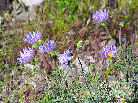 Mojave Aster by J Marielle