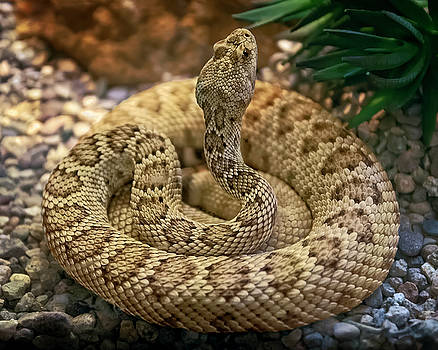 Mojave Rattlesnake h1825 by Mark Myhaver