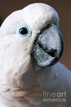 Moluccan Cockatoo Cacatua moluccensis by Sharon Mau