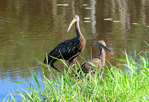 Mom and Baby Limpkin by Rosalie Scanlon