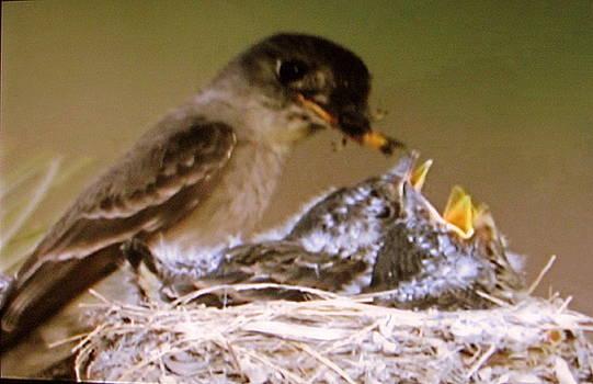 Moma Bird Feeding Babies by Victoria Sheldon