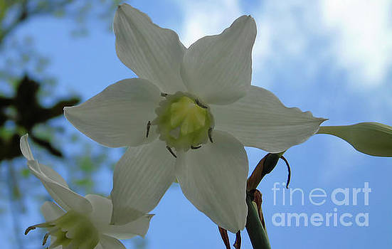 Mommas Special Lily Blooms by D Hackett
