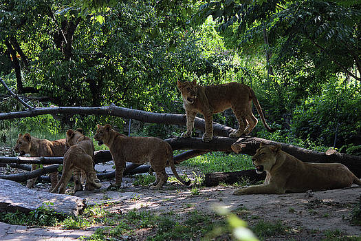 Mommy and her lion kids by Jake Danishevsky