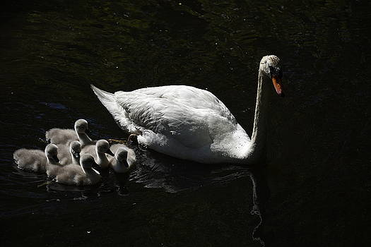 Mommy Swan and Babies by Richard Suder