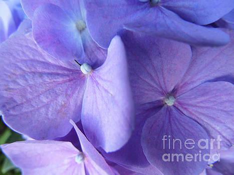 Mom's Lavender Hydrangea by D Hackett
