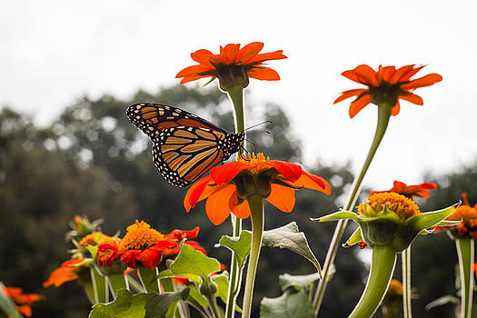 Monacrch Butterfly On A Flower by Connor Koehler