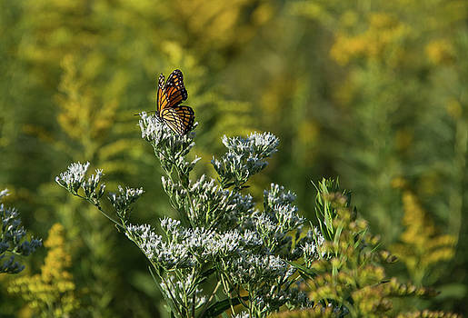 Monarch 3 by Lindy Grasser